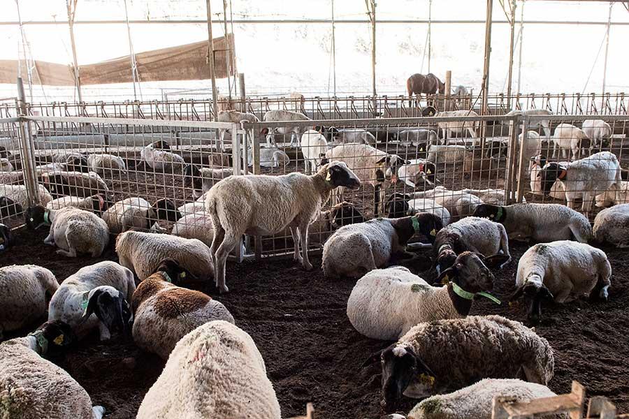 טנא ירוק כבשים
